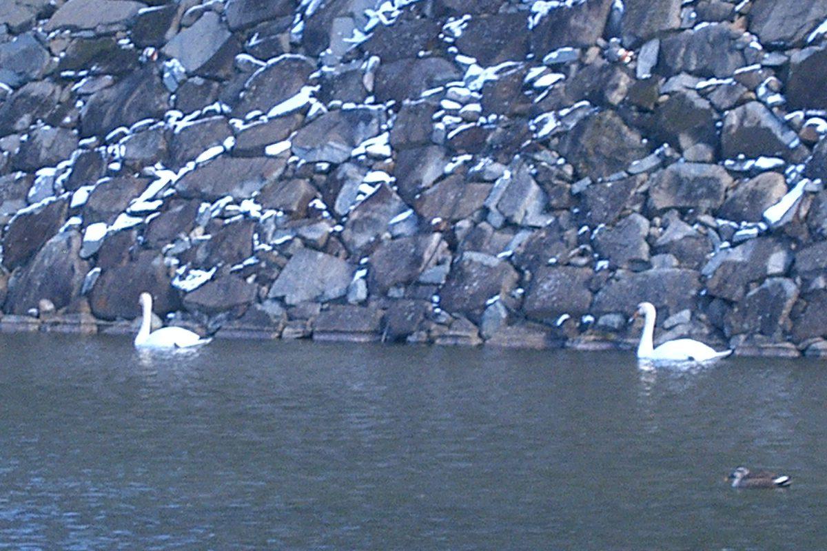 松本城のお堀に住む白鳥