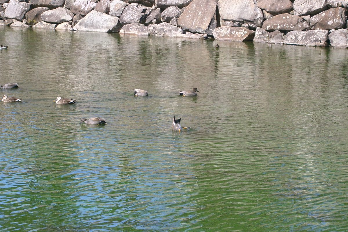 松本城のお堀に鴨