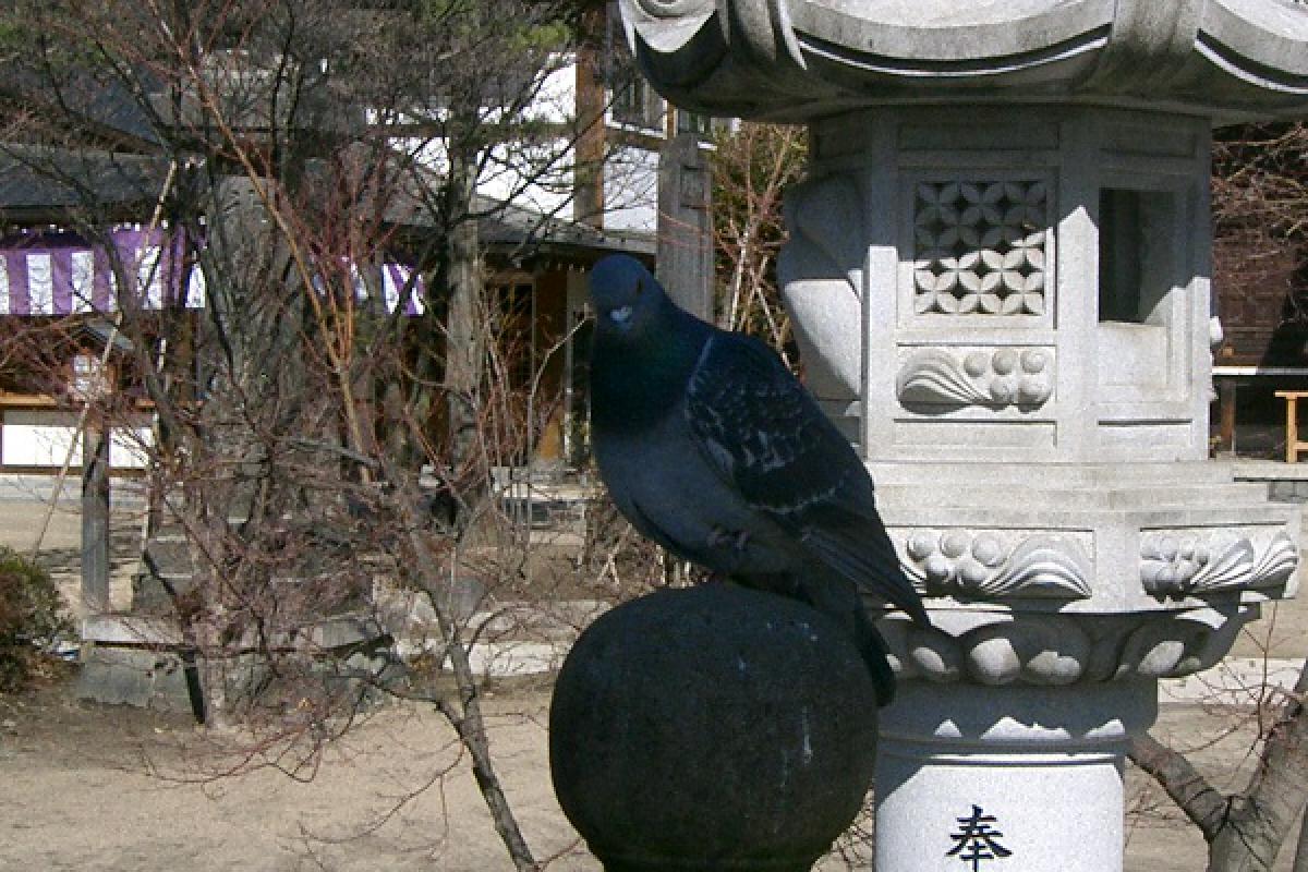 四柱神社にとまる鳩