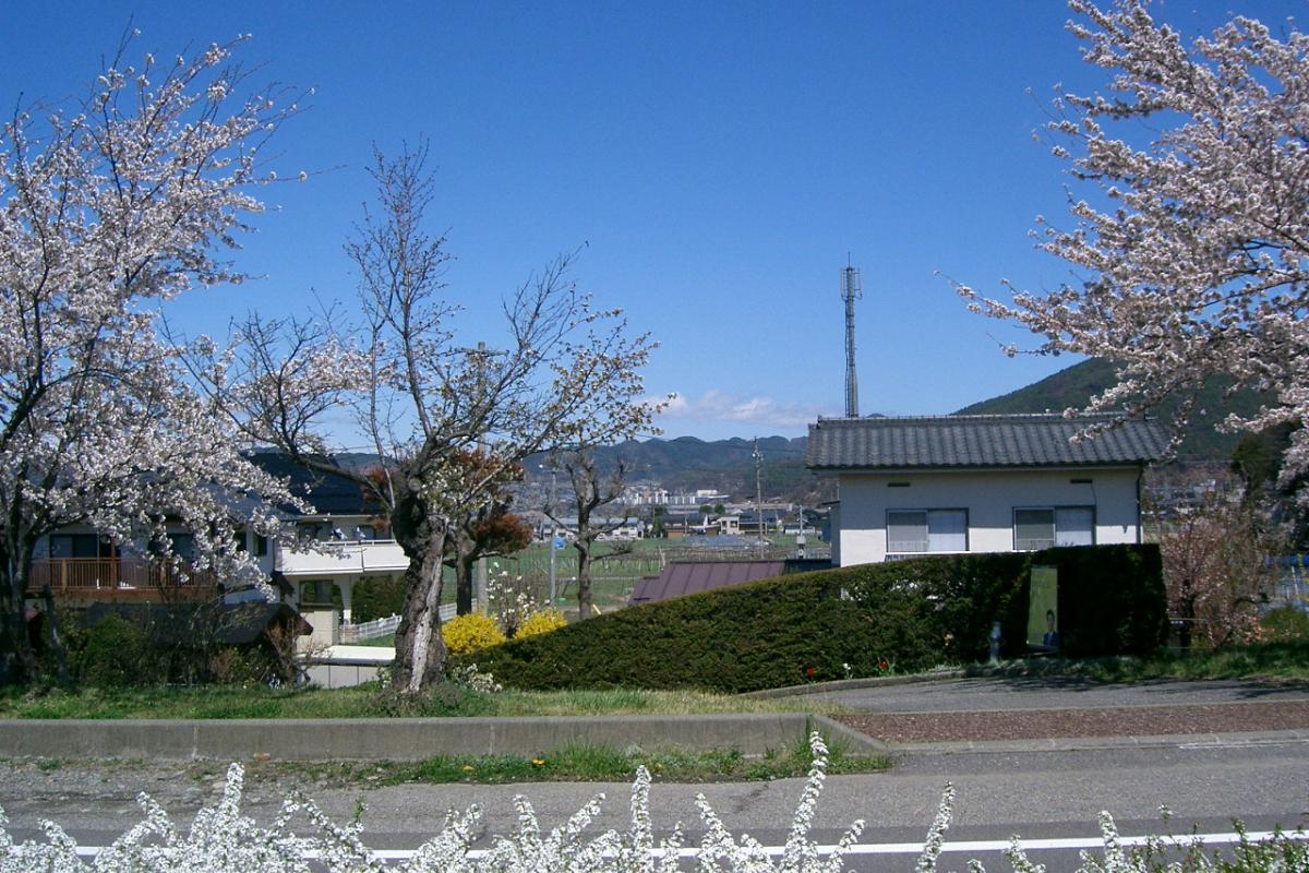 薄川の桜並木
