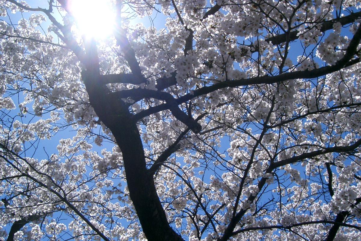 薄川緑地の桜