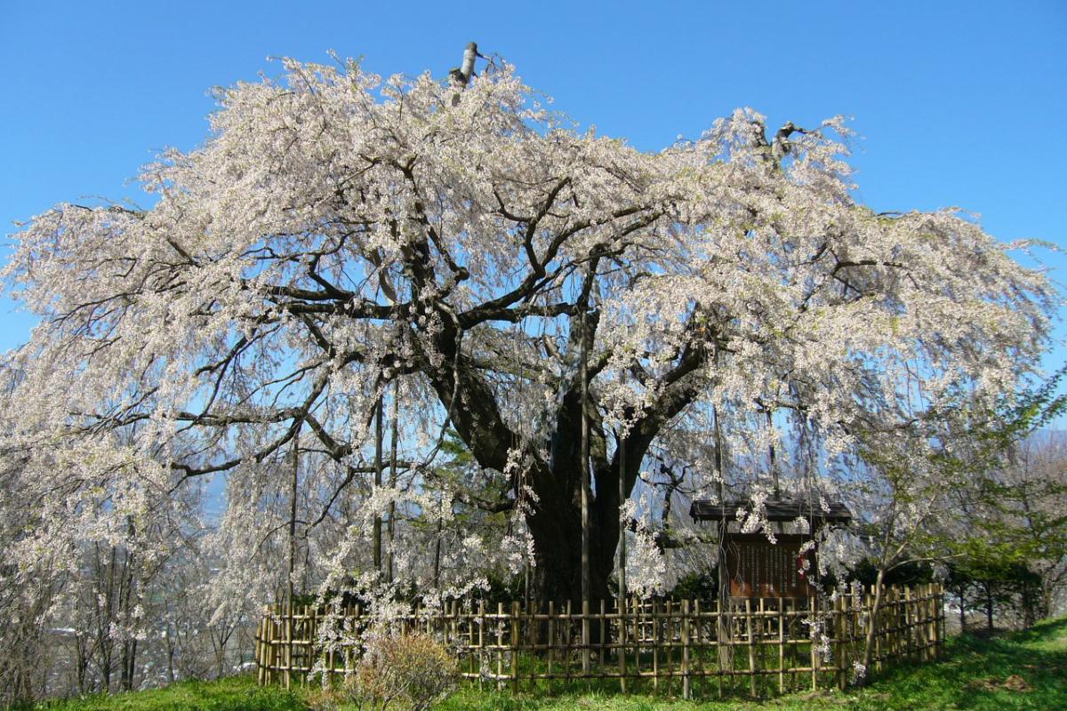泉小太郎伝説の枝垂れ桜